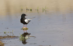 White-winged Black Tern Looking right Stock Images