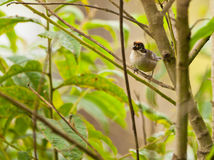 White-winged Brush Finch Royalty Free Stock Photos
