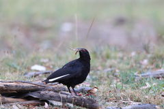 White-winged Chough Stock Images