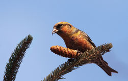 White-winged Crossbill Stock Image