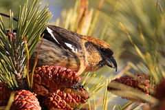White-winged Crossbill (Loxia leucoptera). Eating pine cones Stock Photography