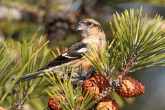 White-winged Crossbill (Loxia leucoptera). Eating pine cones Stock Photo