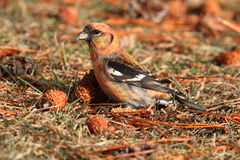 White-winged Crossbill (Loxia leucoptera). Eating pine cones Royalty Free Stock Photo