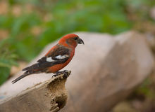 White-winged Crossbill, Loxia leucoptera. Two-barred or White-winged Crossbill, Loxia leucoptera royalty free stock image