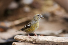 White-winged Crossbill, Loxia leucoptera Stock Images