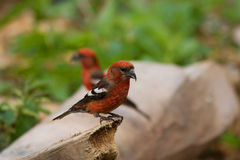 White-winged Crossbill, Loxia leucoptera. Two-barred or White-winged Crossbill, Loxia leucoptera stock image