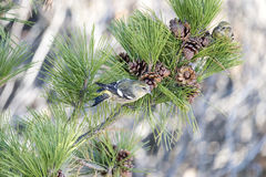 White-winged Crossbill in pine Royalty Free Stock Photography