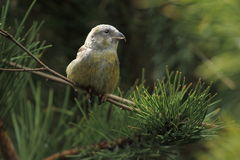 White-winged crossbill Royalty Free Stock Photo