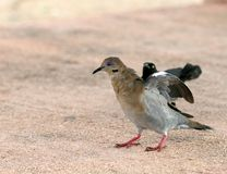 White-winged Dove. Starting to fly Royalty Free Stock Images