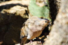 White winged dove Royalty Free Stock Photography