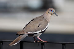 White-winged Dove Stock Photo