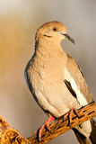 White Winged Dove. Full Frontal View of Adult White Winged Dove on Perch stock photography