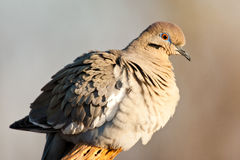 White Winged Dove Stock Photo
