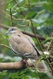 White-winged dove Royalty Free Stock Image