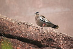 White-winged dove Stock Photography