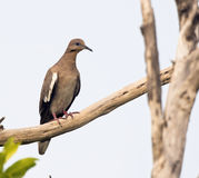 White-winged Dove on a Branch in the Yucatan, Mexico Stock Photo