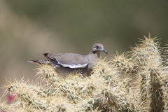 White-winged Dove in desert on cactus Royalty Free Stock Photo