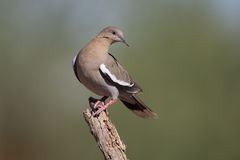 White-winged Dove in desert on cactus Stock Image