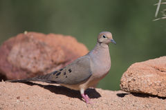 White-winged Dove in desert on rocks Stock Photography