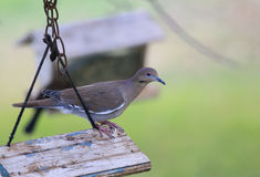 White-winged Dove on Feeder Stock Photography