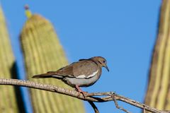 White-winged Dove perched on branch, saguaro cactus in background. White-winged Dove zenaida asiatica perched on a branch in Arizona`s Sonoran desert during stock images