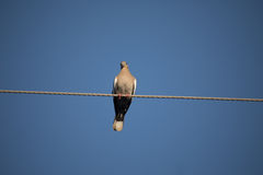 White winged dove. Perched on wire against blue sky background Royalty Free Stock Image