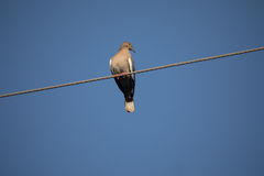 White winged Dove. Perched on wire against blue sky background Stock Photography