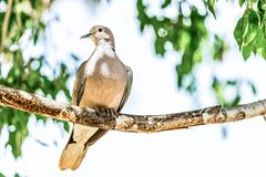 White-winged Dove or pigeon Royalty Free Stock Photography