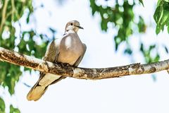 White-winged Dove or pigeon Stock Photography
