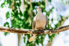 White-winged Dove or pigeon Stock Photos