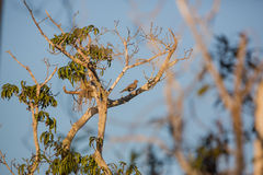 A White-winged Dove in it's cuban habitat Royalty Free Stock Image