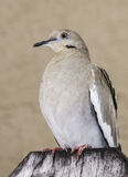 White-Winged Dove on Wood Fence Stock Images