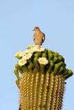 White-winged Dove, Zenaida asiatica Royalty Free Stock Image