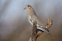 White-winged dove, Zenaida asiatica Stock Photo