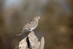 White-winged dove, Zenaida asiatica Royalty Free Stock Photography