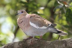White-winged Dove (Zenaida asiatica) Royalty Free Stock Image