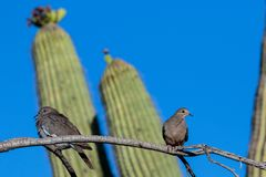 White-winged and Mourning Doves perched on a single branch, saguaro cactus in background. White-winged Dove zenaida asiatica and Mourning Dove zenaida macroura royalty free stock photo