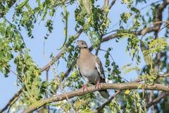 White-winged Dove Zenaida asiatica Perched in a Tree. In Mexico Stock Image