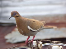 White winged dove Royalty Free Stock Photo