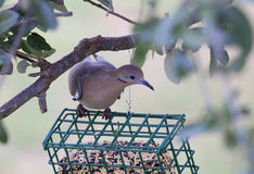 White-winged Dove (Zenaida asiatica) Stock Photography