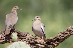 White winged doves on branch Royalty Free Stock Image