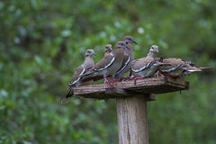 White-winged Doves. My Turn, get off my feeder and wait your turn royalty free stock photo
