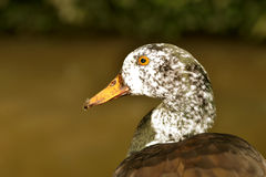 White-winged duck Royalty Free Stock Photography