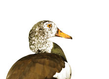 White-winged duck, selective focus. Clipping path included. Stock Photo