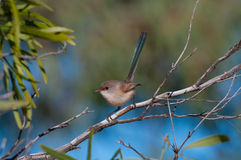 White-winged Fairywren Royalty Free Stock Image