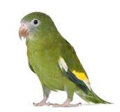White-winged Parakeet, Brotogeris versicolurus. 5 years old, in front of white background Stock Image