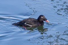 White-winged Scoter Stock Photography