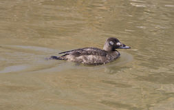 The white-winged scoter female Royalty Free Stock Photos