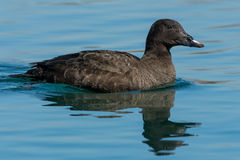White-winged Scoter Royalty Free Stock Images