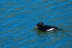White-winged Scoter Stock Image